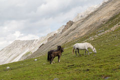 Horses and colt. Photo of horses and colt grazing on alpine meadows Stock Photos