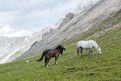 Horses and colt. Photo of horses and colt grazing on alpine meadows Stock Image
