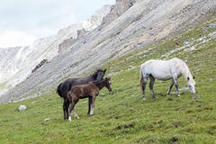 Horses and colt. Photo of horses and colt grazing on alpine meadows Royalty Free Stock Images