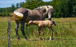 Horses and colts free Stock Photography