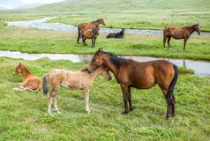 Horses with colts pasturing at the river Royalty Free Stock Images
