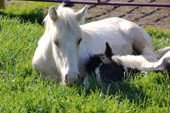 Horses are comfy pillows. Gypsy Vanner yearlings cuddling together in the early morning sunshine Royalty Free Stock Image