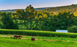 Horses and cornfield on a farm in rural York County, Pennsylvani Royalty Free Stock Photos