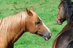 Horses in Cornwall Stock Photo