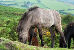 Horses in Cornwall Royalty Free Stock Image