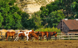 Horses in Corral. Alongside wooden fence mostly facing away from viewer and eating.  One beginning to gallop.  Theodore Roosevelt National Park, Medora, North Royalty Free Stock Image