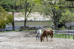 Horses in Corral. Corralled Horses search for early Spring morsels near Ballston Spa, New York Royalty Free Stock Photography