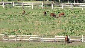 Horses in corral stock video footage