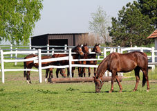 Horses in corral Royalty Free Stock Photo