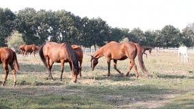 Horses in corral stock video