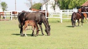 Horses in corral ranch scene stock video
