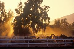 Horses in corral at sunset Royalty Free Stock Images