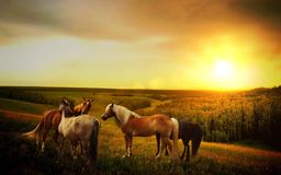 Horses in country field at sunset