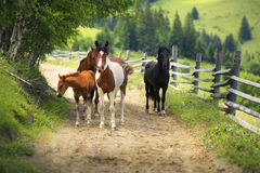 Horses on a Country Road. Over the village Verkhovyna Ivano-Frankivsk region in the mountains graze free horses Ukrainian mountaineers - Hutsul Gutsul. They are stock photo