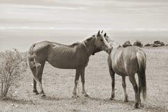 Horses couple Royalty Free Stock Photo