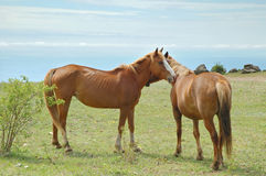 Horses couple Stock Photography