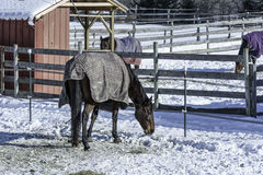 Winter Corral. Horses, covered in their winter blankets,  search for morsels in their snowy corrals Stock Images