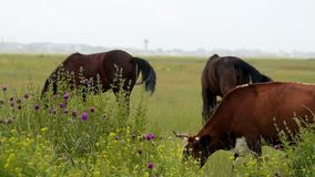 Horses and cow feeding on the pasture stock video footage