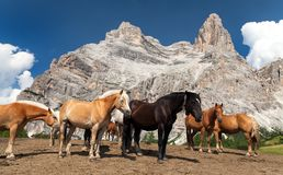 Horses and cow under Monte Pelmo Stock Photos