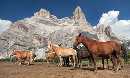 Horses and cow under Monte Pelmo Royalty Free Stock Photo