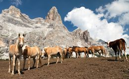 Horses and cow under Monte Pelmo Stock Photography