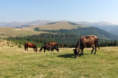 Horses and cows Royalty Free Stock Images