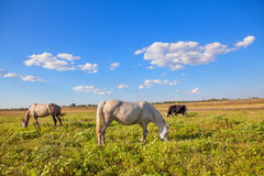 Horses and cows grazing Stock Image