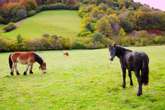 Horses and cows grazing in Pyrenees meadows at Spain Stock Images