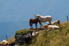 Horses and cows. On high mountain pastures, Porezen, Slovenia Royalty Free Stock Images