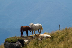 Horses and cows. On high mountain pastures, Porezen, Slovenia Royalty Free Stock Photo