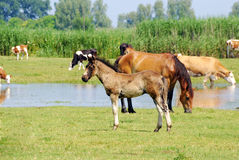 Horses and cows on pasture Royalty Free Stock Images