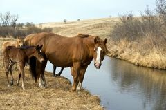 Horses by creek. Quarter horse mare and foal by a creek Royalty Free Stock Photography