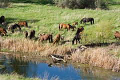 Horses by creek Stock Photography