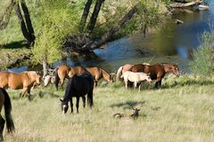 Horses by creek Royalty Free Stock Image