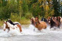 Horses Crossing a River in Alberta, Canada Royalty Free Stock Photos