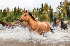 Horses Crossing a River in Alberta, Canada Stock Photo