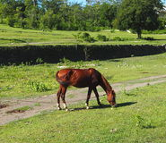 Horses Of Cuba Stock Photo