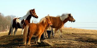 Horses at Czech countryside. Three horses at countryside in the Czech Republic stock photo