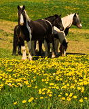 Horses on dandelion field Stock Photos