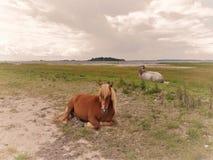 Horses on a Danish beach royalty free stock photo