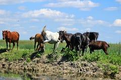 Horses in the Danube Delta. Romania royalty free stock photo