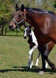 Horses 203 Stock Photo