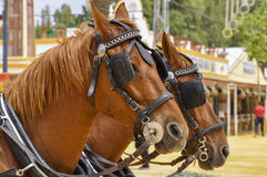 Horses decked in fair Royalty Free Stock Photo