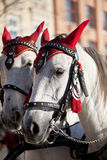 Horses  in decorative harness for cabs on Main Market Square in Stock Image