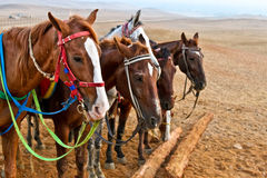Horses in a desert Royalty Free Stock Image