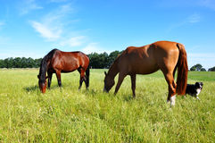 Horses and Dog. Two grazing horses with an Autralian Shepherd Dog at summertime on a paddock Royalty Free Stock Image