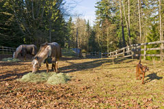 Horses and dog in corral. A view of two horses feeding on alfalfa in a forest corral as a bloodhound dog walks nearby Royalty Free Stock Photos