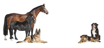 Horses Dogs white background collage Royalty Free Stock Photos