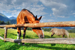 Horses, Dolomites, Italy, August 2007. Horses free to run and enjoy in Val Visdende, Italy Royalty Free Stock Photos