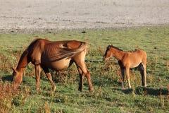 Horses in Donana National Park, Spain Royalty Free Stock Photo